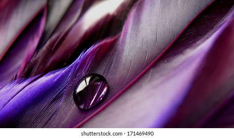 Vibrant purple feathers with a single water drop