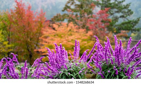 A vibrant purple flowers in foreground focus with autumn colors plants in background during rain, Shirakawa, Japan.