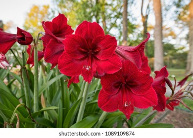 Vibrant Red Amaryllis Blooming During Louisiana Spring
