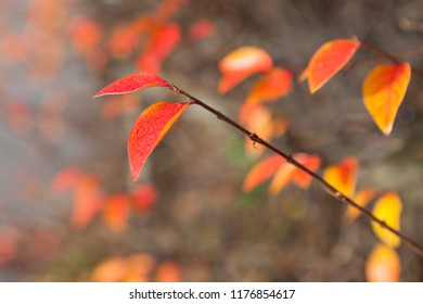 Vibrant red autumn leaves on bush