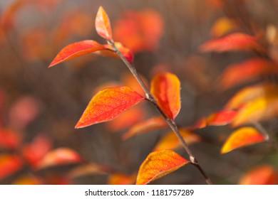 Vibrant red autumn leaves on bush