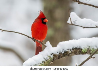 Vibrant Red Northern Cardinal sitting on a branch in the snow.