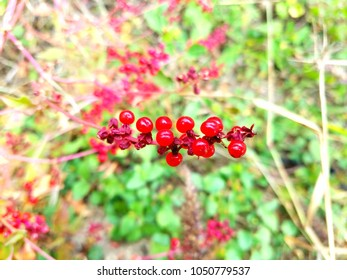 vibrant red Pigeon berries, a native plant to the southern United states.