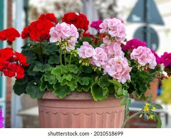 Lebhafte rot-rosa blühende Geranenblumen in dekorativem Blumentopf, Nahaufnahme, floraler Hintergrund mit rotem und rosafarbenem Geranium Pelargonium