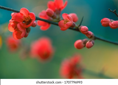 Vibrant red spring flowering of Japanese quince (Chaenomeles japonica) on blurred green background. Selective focus of flowering quince. Spring blossom background.