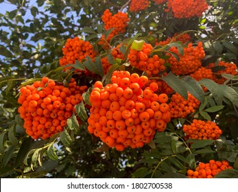 Vibrant ripe orange red rowan berries on a rowan tree branches bottom up view, beautiful colorful rowan berries in summer autumn garden