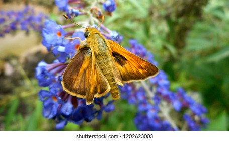 "Vibrant ""Orange Wizard"" Skipper Butterfly: A popular diurnal insect in North America, sometimes called a moth. It is a grass or banded skipper, perhaps a Sachem or Leonard's Skipper."
