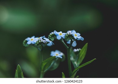 """Vibrant, sky blue, water """"forget me not"""" flowers/scorpion grass (Myosotis) sitting amongst lush green foliage in spring and summer sunlight"""