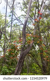 Vibrant Smilax vine growing on the Atherton Tablelands in Queensland, Australia