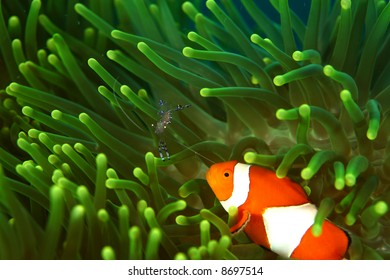 Vibrant soft corals and Clown fish darting amongst the stinging tentacles of the Sea Anemone
