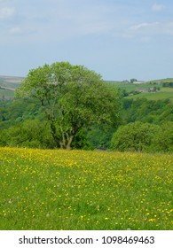 vibrant spring meadow with large tree with yellow flowers and surrounding trees with hillside farmland and fields in yorkshire dales countryside with bright blue sky