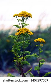 Vibrant stem of tansy flowers at Crescent Beach in Surrey, BC Canada.