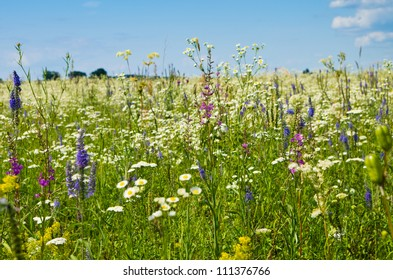 Vibrant summer meadow with camomiles and other flowers on a sunny day