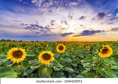 Vibrant sunflower field beautiful wide angle panorama in sunset in summer