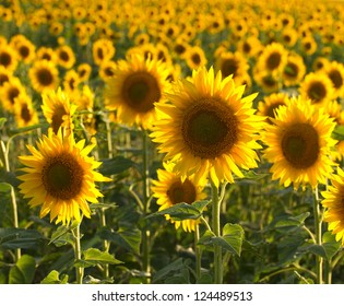 Vibrant sunflowers in a meadow, backlit by the evening sun. Selective focus on front flower.