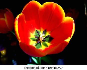 vibrant tulip flower in sunlight.