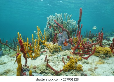 Vibrant underwater life with sea sponges in a Caribbean coral reef, Central America, Panama