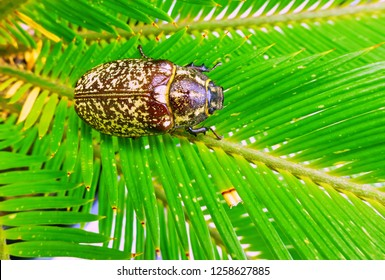 Vibrant view of large fat cockchafer bug on green palm tree leaves in summer close up
