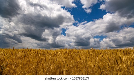 Vibrant wheat field wide angle panorama with big white clouds and blue sky