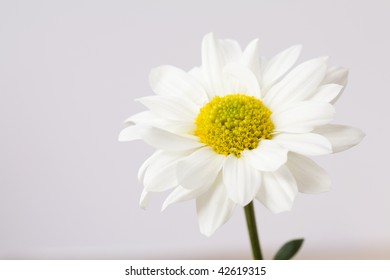 a vibrant white and yellow daisy against a grey background