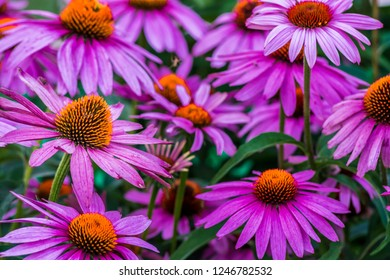 Vibrant Wild Echinacea purple flowers with orange stamens