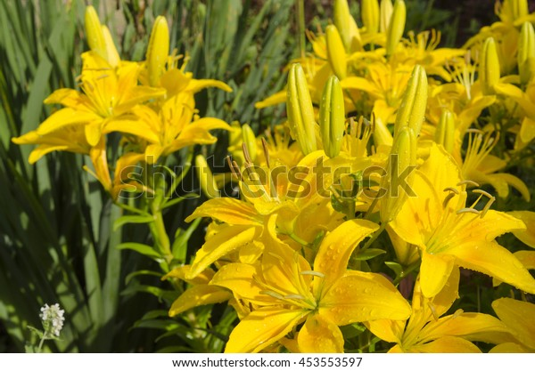 Vibrant Yellow Asiatic Lilies Outdoor Flower Stock Photo Edit Now