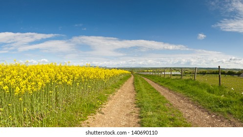 Vibrant yellow crop of canola grown as a healthy cooking oil or conversion to biodiesel as an alternative to fossil fuels.