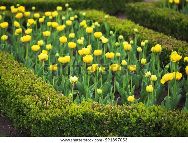 Vibrant yellow holland tulips in park.