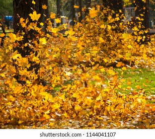 Vibrant yellow leaves blown up and flying in the air with an autumn wind in the park