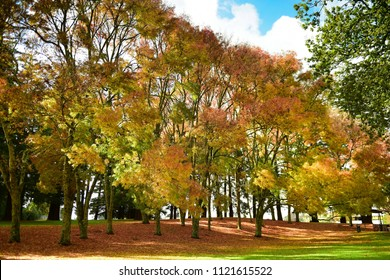 Vibrant yellow-orange leaves during autumn in Cambridge, New Zealand