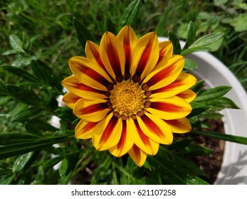 A Vibrantly colored Gazania flower.