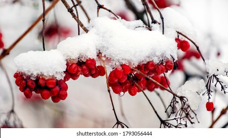 Viburnum berries covered with snow on the bushes in winter