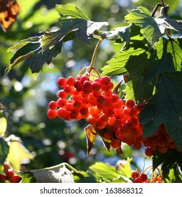 Viburnum Berries on a Sunny Day Color Photo