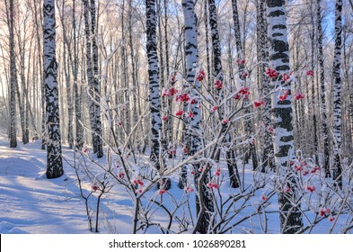 Viburnum bush with red berries hoarfrost covered in the frozen birch grove at  sunny weather - beautiful winter landscape with sunlight and selective focus