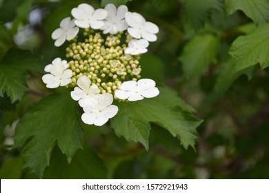 Viburnum, a genus of woody flowering plants Adoxaceae. Useful tree plant. Medicinal fruits. Home garden, flower bed. Red berries. Tea, syrup. White flowers - Shutterstock ID 1572921943