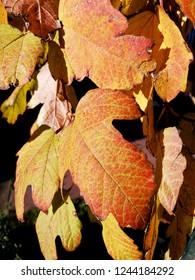 Viburnum in late autumn. Yellow leaves.