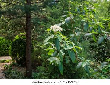 Viburnum rhytidophyllum Alleghany white flowers in spring garden. Leatherleaf Viburnum blooms beautifully even in full shadow of evergreen trees. Selective focus. Nature concept for design