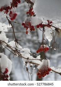 viburnum shrub berries ice and snow covered