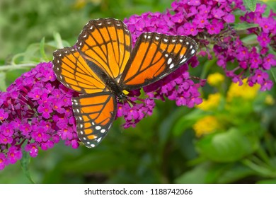 Viceroy Butterfly collecting nectar from a purple Butterfly Bush flower. Rosetta McClain Gardens, Toronto, Ontario, Canada.