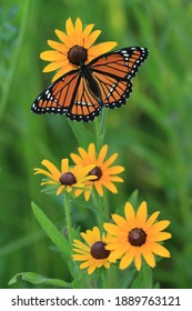 viceroy butterfly limenitis achippus butterfly on black eyed susan native prairie plant