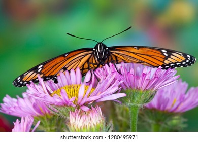 Viceroy Butterfly a mimic of the Monarch butterfly, Limenitis archippus