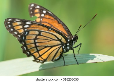 Viceroy Butterfly perched on a leaf. Presqu'ile Provincial Park, Brighton, Ontario, Canada.