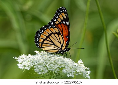 A Viceroy Butterfly rests on a Queen Anne's Lace flower. These butterflies mimic the appearance of the Monarch Butterfly.