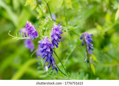 Vicia cracca, (vectorielle touffue, vectorielle de vache, croquis d'oiseau, croquis bleu) fleurs violettes dans le pré mise au point sélective macro
