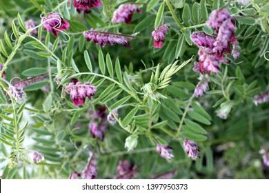 Vicia villosa, Hairy vetch, Fodder vetch, fodder legume, herb often a vine with pinnate leaves and purple pendent flowers in a long raceme.
