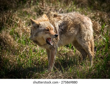 A vicious and angry looking North American coyote ( Canis latrans ) close-up.