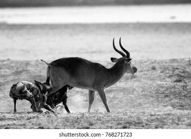 Vicious attack of African Wild Dogs (Lycaon pictus) on a puku in South Luangwa National Park, Zambia, Southern Africa.
