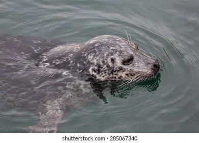 Victoria BC Harbor Seal