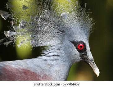 Victoria Crowned Pigeon in Kuala Lumpur Bird Park