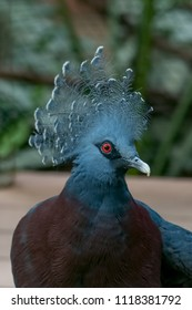 The Victoria crowned pigeon is a large, bluish-grey pigeon with elegant blue lace-like crests, maroon breast, and red irises.